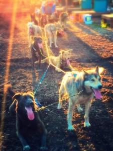 Rolling Dog Sled Team