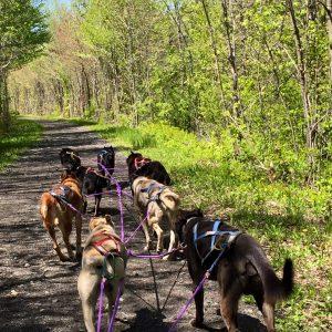 spring-dog-sledding