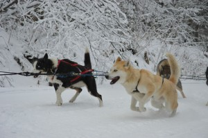 Sled Dogs In Action